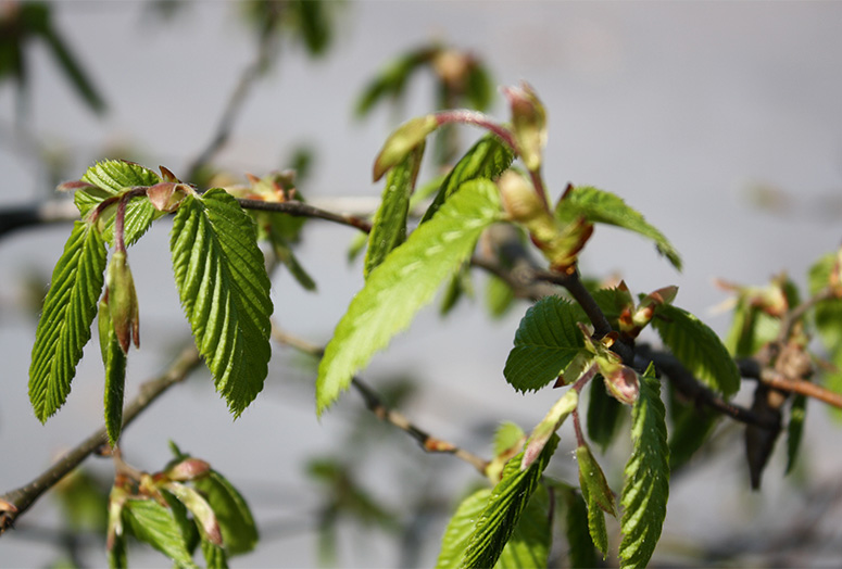 carpinus-betulus-spring