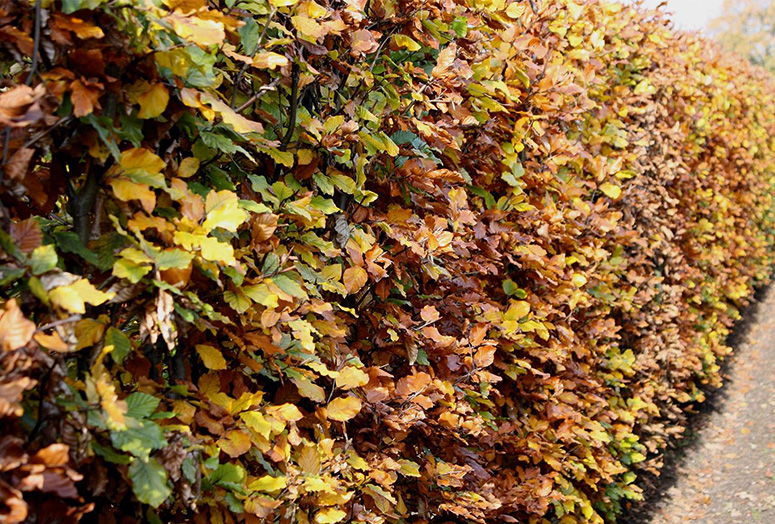 fagus-sylvatica-200cm-autumn