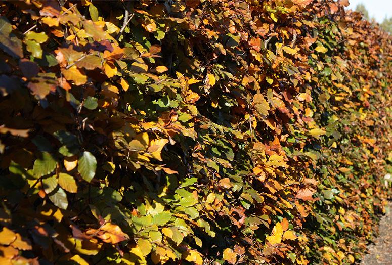 fagus-sylvatica-atropunicea-autumn