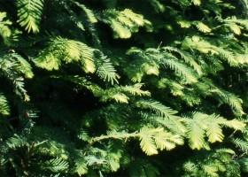 metasequoia-glyptostroboides-detail