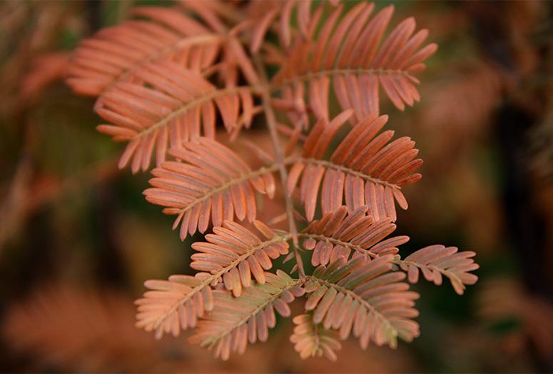 metasequoia-glyptostroboides-detail2