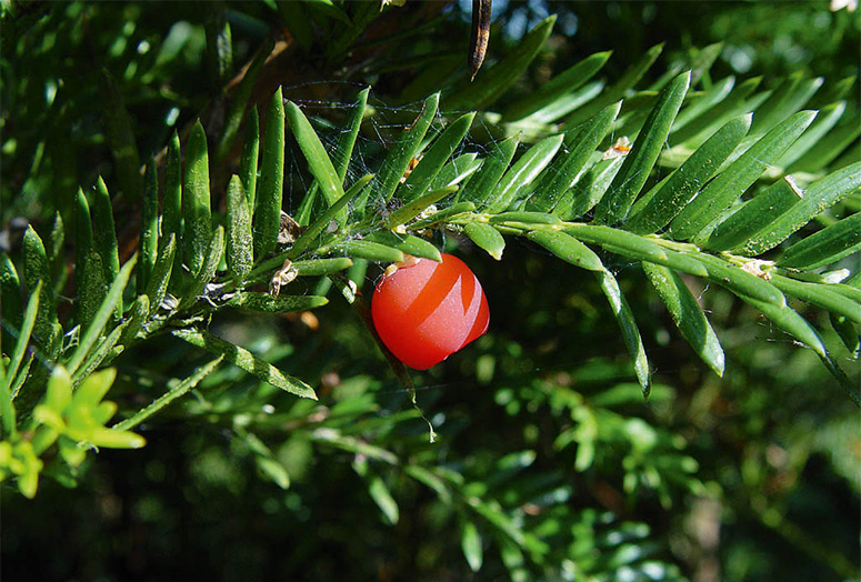taxus-baccata-fruit